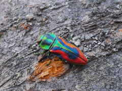 Glowing Jewel Beetle