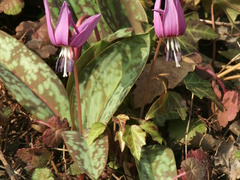 Dog's Tooth Violet