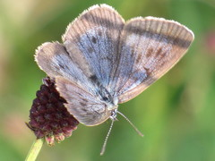 Dusky Large Blue